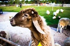 Sheep with Lamb looking Stock Image
