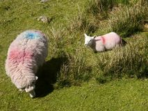 Sheep and lamb Royalty Free Stock Images