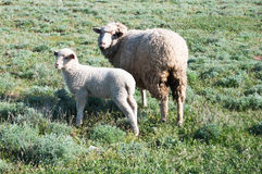 Sheep and a lamb in a meadow Stock Images