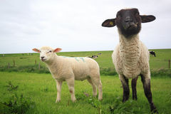 Sheep and lamb. On a meadow Royalty Free Stock Image
