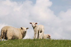 Sheep and lamb Royalty Free Stock Photos