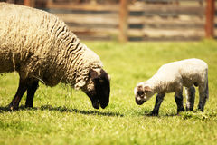 Sheep and lamb in a meadow Stock Photo