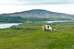 Sheep lamb meadow Mull Ulva Stock Photo