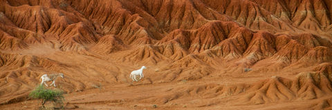 Sheep lamb in the middle of dry sand stone rock Stock Photos
