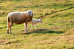 Sheep and lamb. Mother sheep with her little lamb photographed in the middle of a green meadow Royalty Free Stock Photos