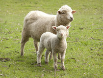 Sheep and lamb. Lamb with mother on a New Zealand farm Stock Images