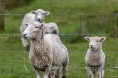 Sheep and Lamb. New Zealand farm Stock Photos
