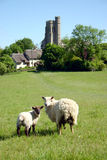 Sheep and Lamb in pastoral set. A young lamb and its mother gaze at the camera in a rural English meadow, church in background Stock Photography