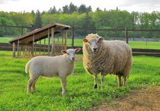 Sheep and lamb. On the pasture Royalty Free Stock Images