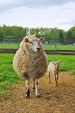 Sheep and lamb. On the pasture Stock Photos