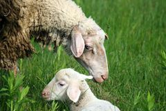 Sheep and Lamb. In pasture in green meadow stock photo