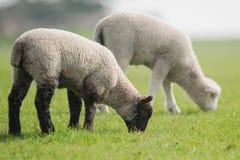 Sheep, Lamb, Ram, Ovis aries. Farm Mammals - Sheep, Lamb, Ram, Ovis aries royalty free stock photos