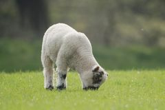 Sheep, Lamb, Ram, Ovis aries. Farm Mammals - Sheep, Lamb, Ram, Ovis aries stock photo