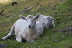 Sheep and lamb resting on the grass. Two sheep resting on the grass on the hill of Maunt Maunganui in Tauranga. New Zealand Royalty Free Stock Images