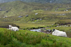 Sheep lamb resting Scotland landscape. Sheep and lamb resting on grass in front of a little stream on Harris, landscape format, copy space Royalty Free Stock Photography