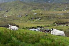 Sheep lamb resting Scotland landscape Royalty Free Stock Photography