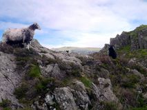 Sheep with lamb on rocks Stock Images