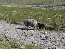 Sheep and lamb running down rocky path Stock Image