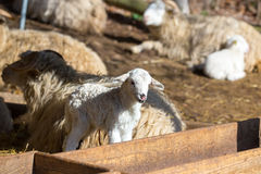 Sheep with lamb on rural farm stock image