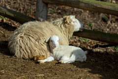 Sheep with lamb on rural farm Royalty Free Stock Images