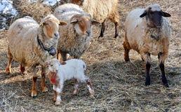Sheep with lamb. At farm Royalty Free Stock Image