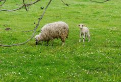 Sheep and lamb. In the meadow Stock Photos