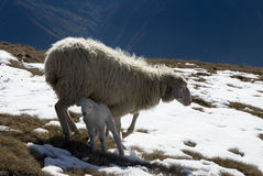 Sheep and lamb in the snow Royalty Free Stock Image