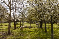 Sheep with lamb in spring Stock Photography