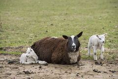 Sheep in a meadow Royalty Free Stock Images