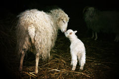 Maternal instinct. Sheep with a lamb standing in the doorway of the barn. Maternal instinct Royalty Free Stock Photography