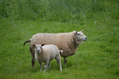 Sheep And Lamb. Standing In A Grassland Royalty Free Stock Photo