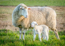 Sheep and lamb 2 Stock Image