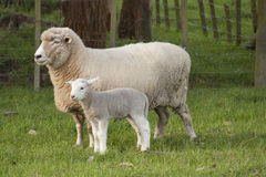 Sheep and Lamb. A sheep and lamb standing in a paddock Royalty Free Stock Photography