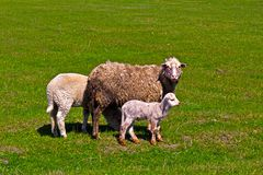 Sheep and  lamb Royalty Free Stock Image