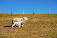 Sheep with lamb Royalty Free Stock Image