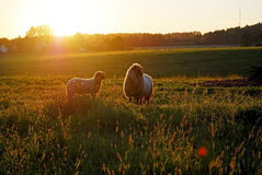 Sheep and a lamb in the sunset Royalty Free Stock Photos