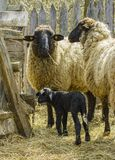 Sheep with lamb. Two white sheep with one black lamb at farm Royalty Free Stock Image