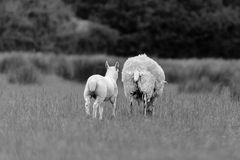 Sheep And Lamb Walking In Black & White. A mother sheep and her lamb walk away from the camera through a grassy meadow in the springtime. Processed in back & Royalty Free Stock Photos