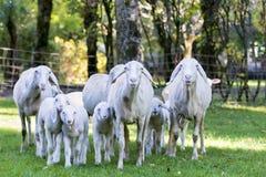 Sheep and lamb walking toward camera Royalty Free Stock Photo