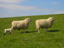 Sheep and Lamb watching Royalty Free Stock Images