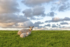 Sheep and lamb Stock Photo