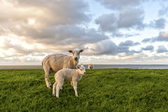 Sheep and lamb Stock Image