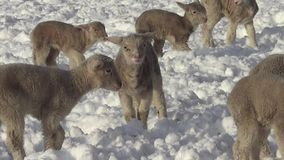 Sheep and Lamb in Winter in Snow
