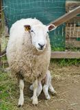 A sheep with a lamb Royalty Free Stock Image
