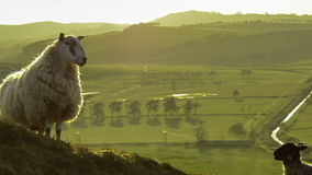 Sheep And Lamb. Zoom Of Scottish Sheep And Lamb In The Evening Light stock illustration