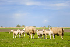 Sheep and lambs Stock Image