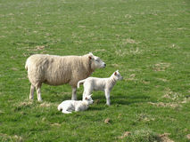 Sheep and Lambs. Grazing in a Green Meadow Stock Images