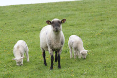 Sheep and lambs Stock Photo