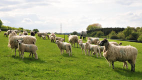 Sheep and Lambs. Flock of Sheep and Lambs Grazing in a Green Field Stock Photo