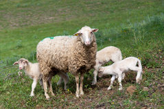 Sheep with lambs. On the hills in Tuscany Royalty Free Stock Image